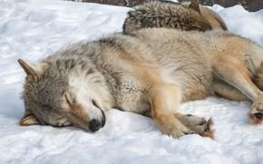 Picture nature, snow, Wolf, animal, sleeping, wildlife, fur