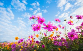Picture field, summer, the sky, the sun, flowers, colorful, meadow, summer, pink, field, pink, flowers, cosmos, ...