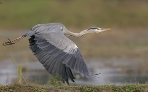 Picture nature, background, flies, Heron, DUELL ©
