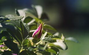 Picture leaves, rose, Bush, Bud