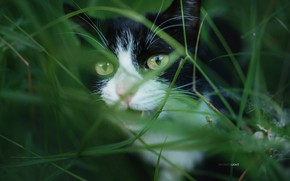 Picture cat, grass, cat, Alexander Drobkov-Light