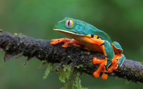 Picture background, frog, branch, bright, treefrog, dendrobates