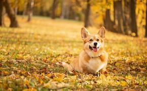 Picture autumn, forest, language, nature, Park, glade, foliage, dog, walk, sitting, Welsh Corgi