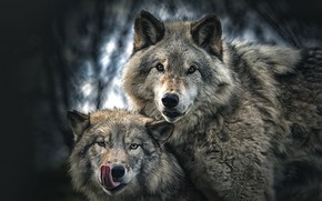 Picture language, look, background, wolf, portrait, pair, wolves, grey, two, muzzle, bokeh, two wolves