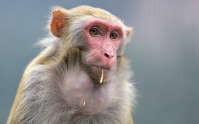 Picture eyes, look, face, background, portrait, monkey, monkey, ate, meaningful