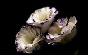 Picture flowers, the dark background, eustoma