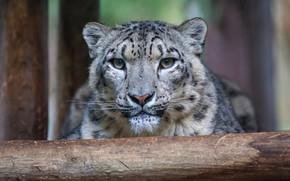 Picture look, face, portrait, IRBIS, snow leopard, log