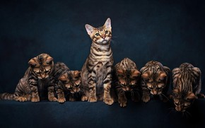 Picture cats, the dark background, kitty, kittens, Bengal, a lot