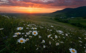 Picture summer, landscape, flowers, mountains, nature, sunrise, dawn, chamomile, morning, meadows, Paul Kalinenko