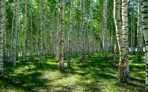 Picture greens, forest, summer, grass, light, trees, trunks, glade, shadows, birch, birch, grove, birch, birch grove