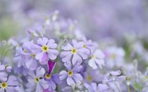 Picture tenderness, beauty, spring, purple flowers, primrose