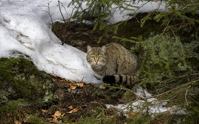 Picture winter, cat, cat, look, face, leaves, snow, branches, nature, pose, grey, sitting, needles, striped, wildcat, …