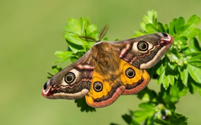 Picture macro, butterfly, wings, Small Emperor moth