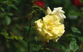 Picture flower, the dark background, rose, Bud, yellow