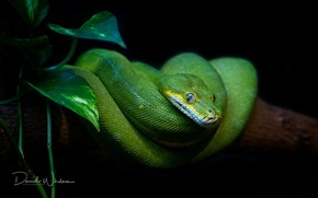 Picture look, green, snake