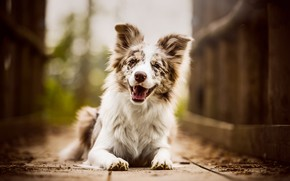 Picture language, look, face, joy, nature, pose, smile, background, mood, Board, portrait, dog, paws, puppy, lies, …
