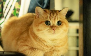 Picture cat, cat, look, face, pose, lies, Golden chinchilla