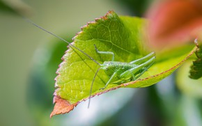 Picture green, insect, Grasshopper