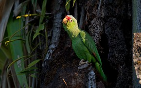 Picture leaves, green, the dark background, tree, bird, parrot, Amazon