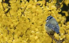 Wallpaper bird, tit, flowers