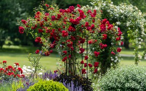 Picture flowers, roses, garden, support, red, beds, rose Bush, climbing rose