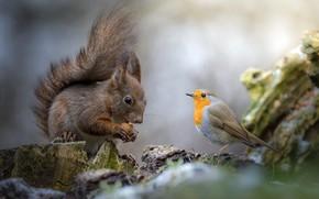 Picture nature, animal, bird, walnut, protein, stump, rodent, Robin, Robin, Robin, Roberto Aldrovandi