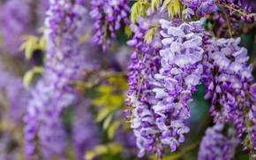 Picture flowers, branches, nature, background, color, beauty, spring, petals, leaves, brush, flowering, cascade, lilac, beautiful, inflorescence, …