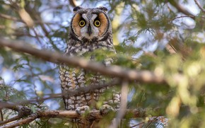 Picture branches, tree, owl, bird, Long-eared owl