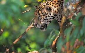 Picture face, nature, background, Jaguar, wild cat, bokeh