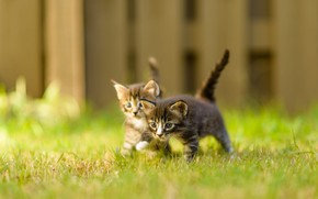 Picture summer, grass, nature, pose, the fence, blur, pair, small, kittens, walk, kids, grey, a couple, …
