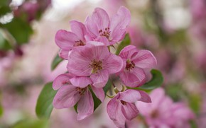 Picture pink, spring, Flower, Apple