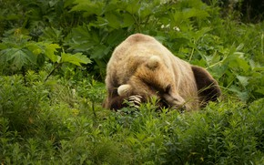 Wallpaper greens, summer, grass, face, leaves, nature, pose, green, background, thickets, stay, glade, sleep, paws, bear, ...