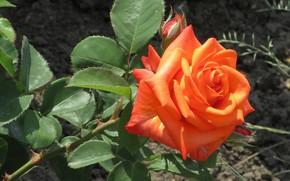 Picture leaves, rose, Meduzanol ©, summer 2018, orange rose