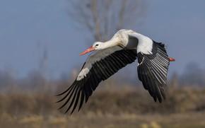 Picture field, the sky, look, flight, bird, wings, stork, flying, wingspan