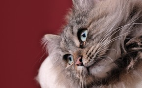 Picture look, background, muzzle, Siberian cat