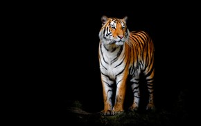 Picture look, face, tiger, pose, paws, is, black background, wild cat, handsome, composition