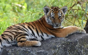 Picture look, tiger, muzzle, lies, tiger