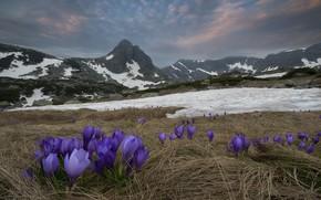 Picture snow, landscape, mountains, nature, spring, crocuses, primroses, Bulgaria, Rila, Materov.
