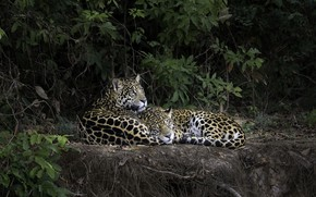 Picture forest, nature, leopard