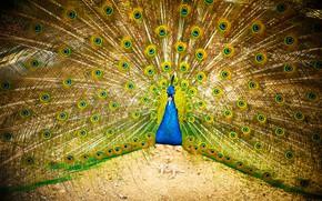 Picture bright, bird, fan, tail, peacock, fan