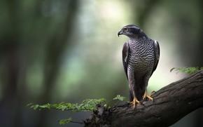 Picture look, nature, background, tree, bird, hawk, predatory