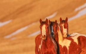 Picture background, horses, horse, trio, Trinity