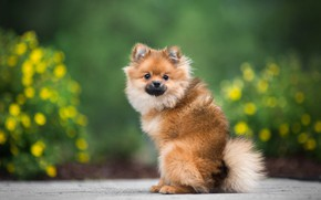 Picture summer, look, flowers, pose, green, background, dog, garden, red, puppy, sitting, beds, bokeh, Spitz