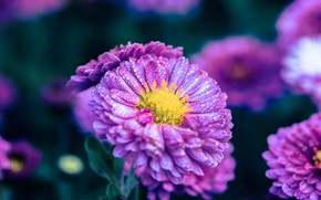 Picture drops, flowers, background, lilac, asters