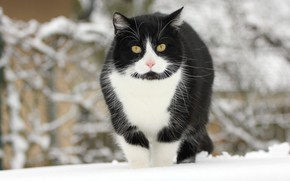 Picture winter, cat, cat, snow, black and white
