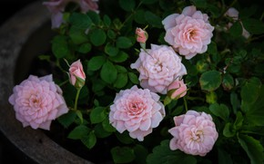 Picture leaves, roses, pink, buds