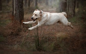 Picture autumn, forest, grass, flight, nature, pose, Park, jump, dog, walk, Labrador, Retriever