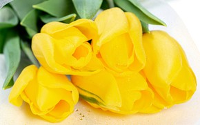 Picture macro, tulips, white background, buds, yellow