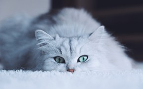 Picture cat, white, eyes, cat, look, face, background, portrait, white