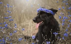 Picture language, face, flowers, dog, wreath, cornflowers, German shepherd
